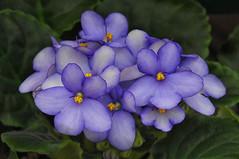 African Violets, Hicks Nursery, Westbury, New York