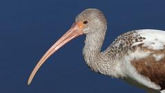 White Ibis (immature)- The 'Hood'