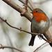 Winter Robin!
