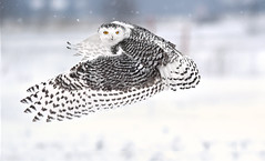 Snowy Owl - rural west Ottawa