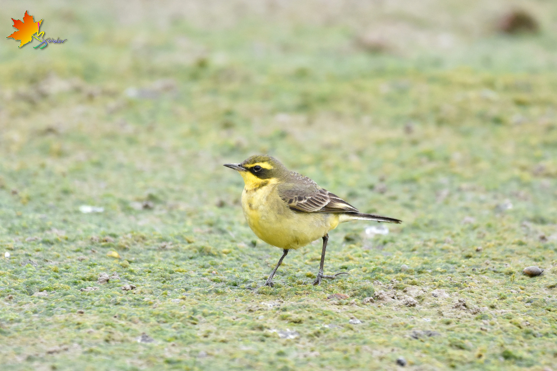 Yellow_Wagtail_8812