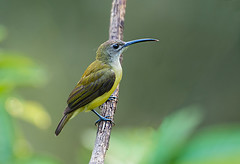 Little Spiderhunter