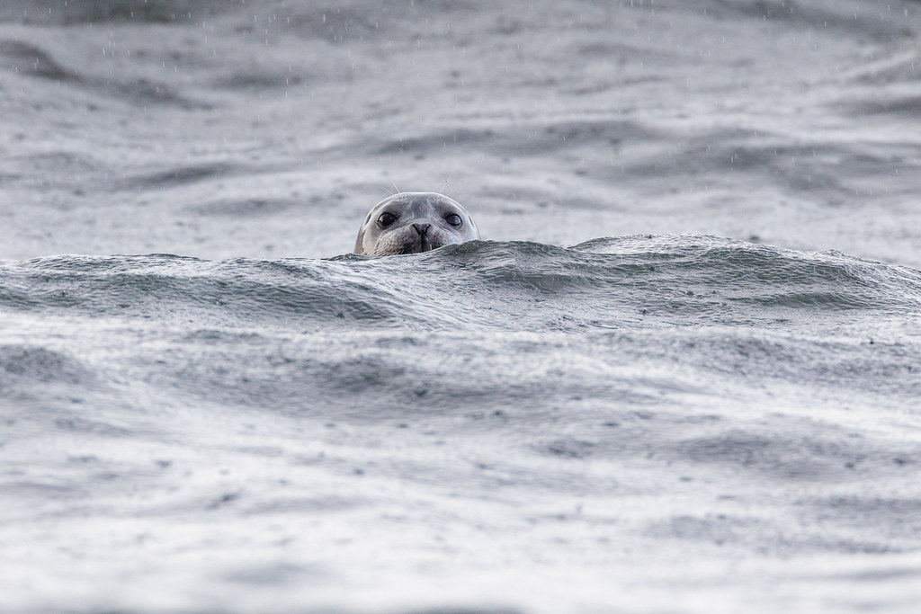 A harbor seal peaks over the waves in the pouring rain at Yaquina Head Outstanding Natural Area in Newport, Oregon
