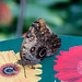 Giant Owl Butterfly RHS Wisley 08 February 2018 (20)