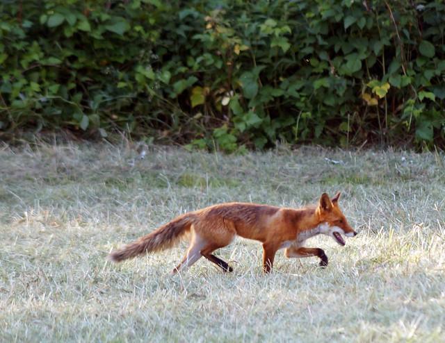 foxC03732