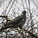 84_pigeon01