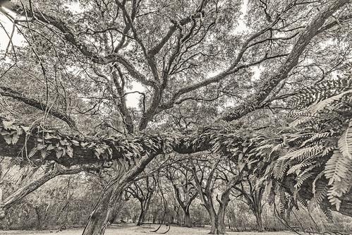 bw blackwhite blackandwhite brazosbendstatepark creamtone liveoak monochrome oak park polypodiumpolypodioides resurrectionfern tree trees damon texas unitedstates us bbsp brazos bend