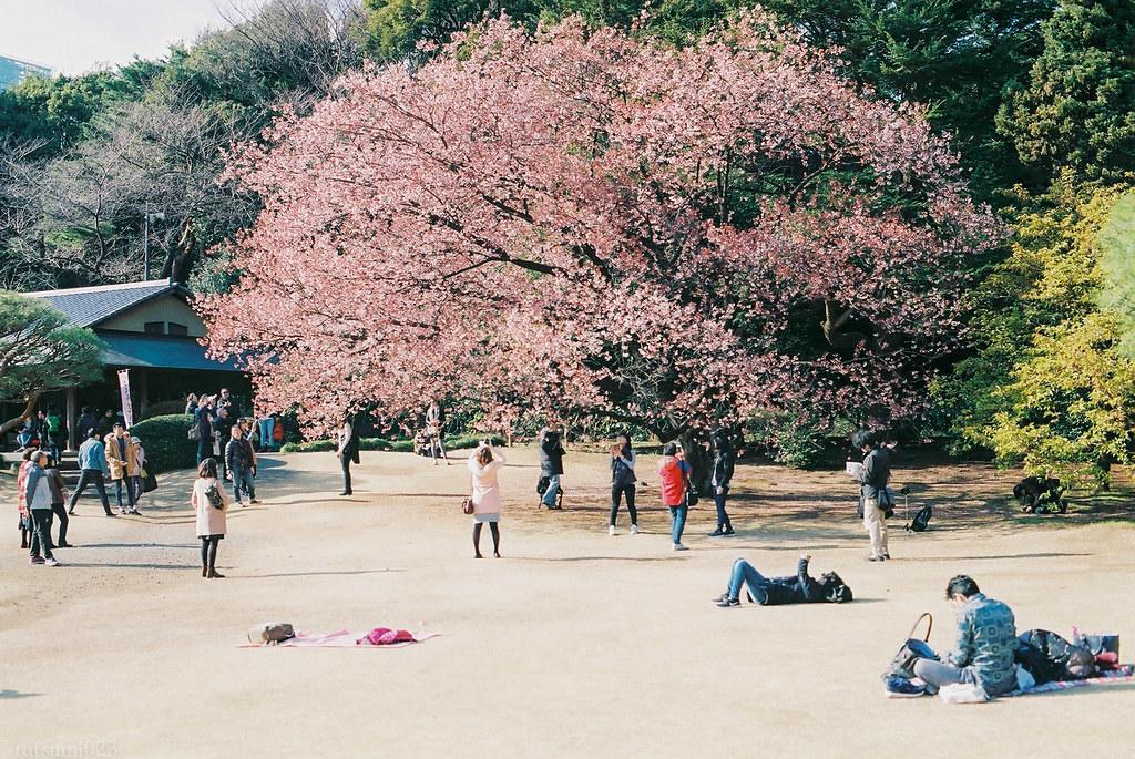 2017-03-11 新宿御苑の寒桜 001