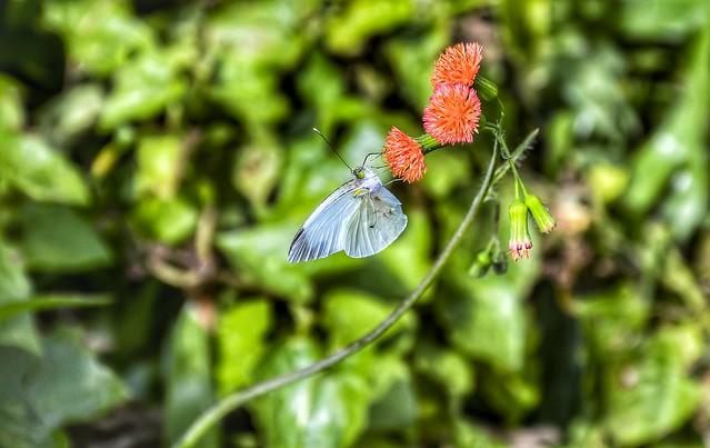 Leptophobia aripa balidia - Common Green-Eyed White - Mountain White (Boisduval, 1836)