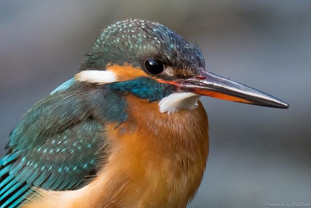 20180204-kingfisher-DSC_7347-2