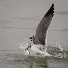 Laughing Gull Catches Fish
