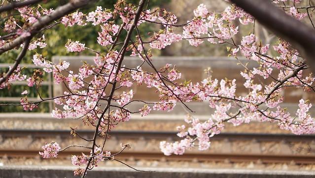DSC07089三浦海岸桜まつり