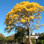 Tabebuia donnell-smithii tree in flower