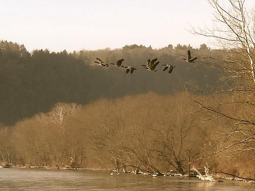 owego newyork tworiversgreenway susquehannariver owegocreek geese canadageese brantacandensis geeseinflight impressionist