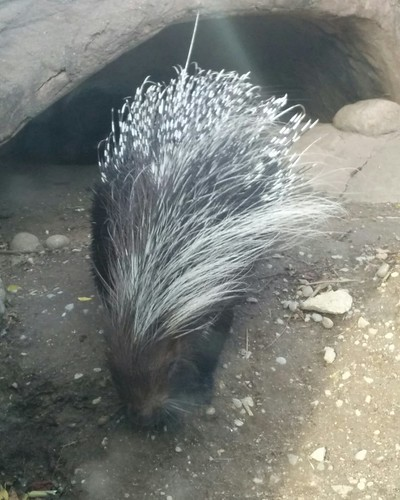 South African created porcupine #toronto #torontozoo #mammal #porcupine #southafricancrestedporcupine #latergram