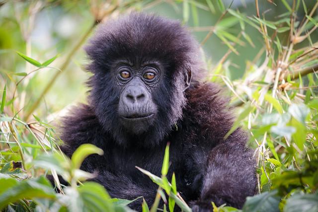 Stunned Gorilla