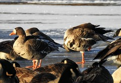 Greater White Fronted Geese on Lake Artemesia