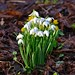 Snowdrop (Early Morning) 1