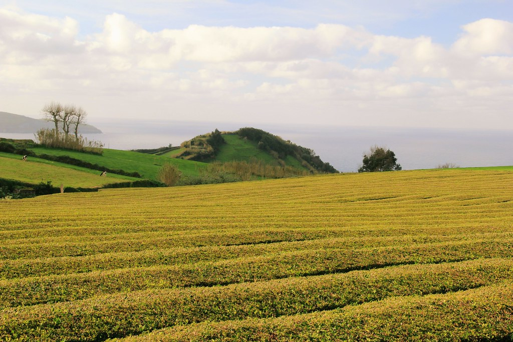 Gorreana Tea Estate