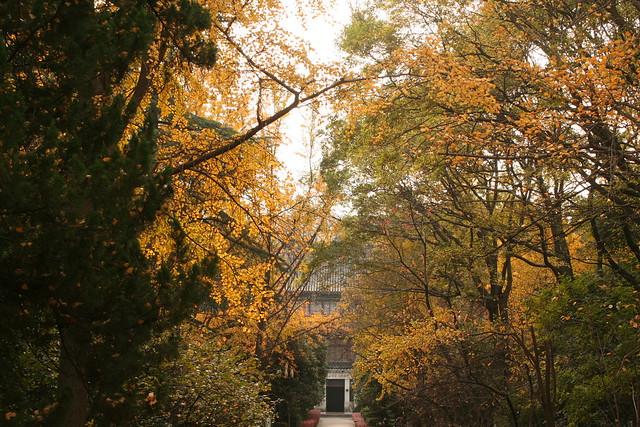 南京大學鼓樓校區處,夾道迎來滿黃的銀杏。