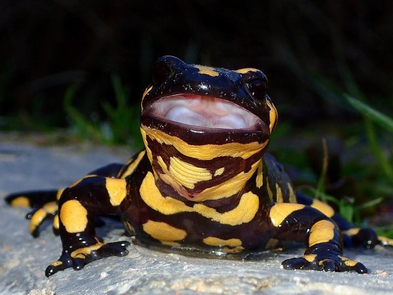 El bostezo de la salamandra 39631540504_2454738515_c
