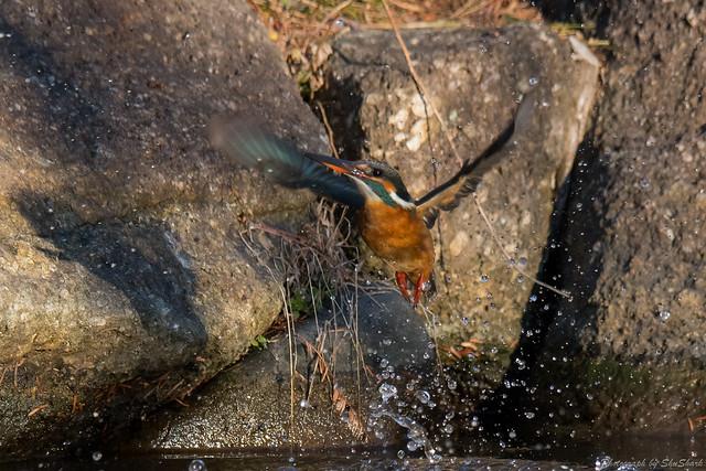 20180114-kingfisher-DSC_4368