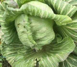 福山農場 高麗菜 (1)