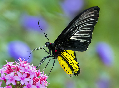 Golden Birdwing Butterfly in flight nectaring on Pentas Lanceolata flowers, Wings of the Tropics, Fairchild Tropical Botanic Garden.