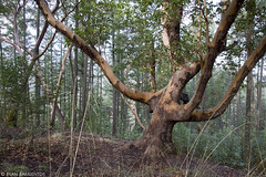Pacific Madrone Legacy