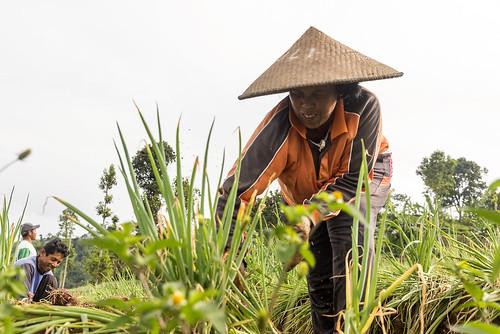 Farmers at work_Argapura_DSC_8444