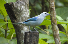 Blue-grey Tanager (Tangara episcopus)