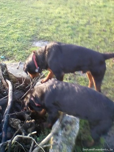 Sat, Feb 17th, 2018 Lost Male Dog - R430, Derrykearn, Abbeyleix, Laois