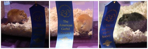 first-place-gerbils