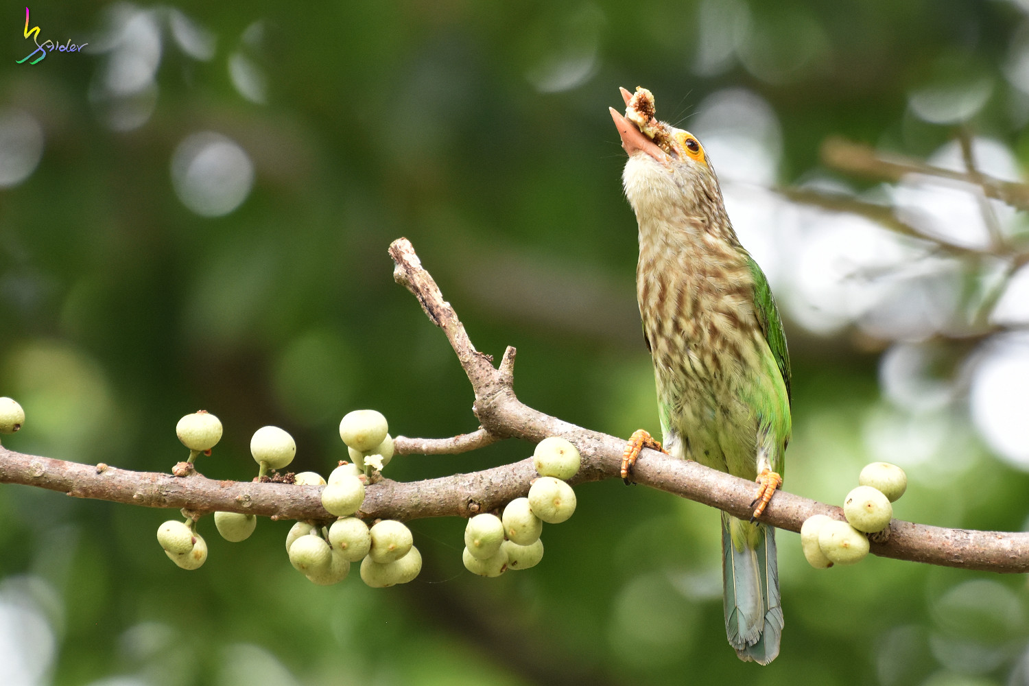 Lineat_Barbet_1853