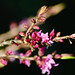Mezereum flowering, West Park