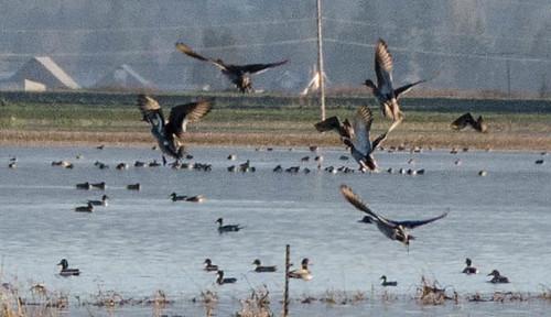 Skagit Morning Birds-13