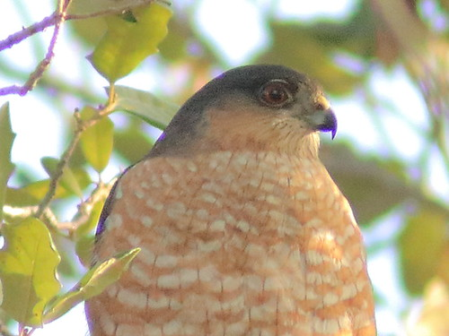 Sharp-shinned Hawk portrait 05-20180211