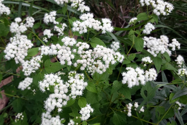 two-foot section of tiny white flowers