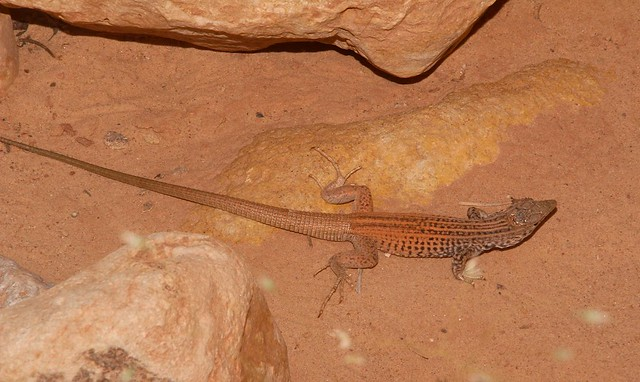 Plateau Tiger Whiptail Lizard (Aspidoscelis tigris septentrionalis), Utah