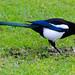 Magpie delving, West Park