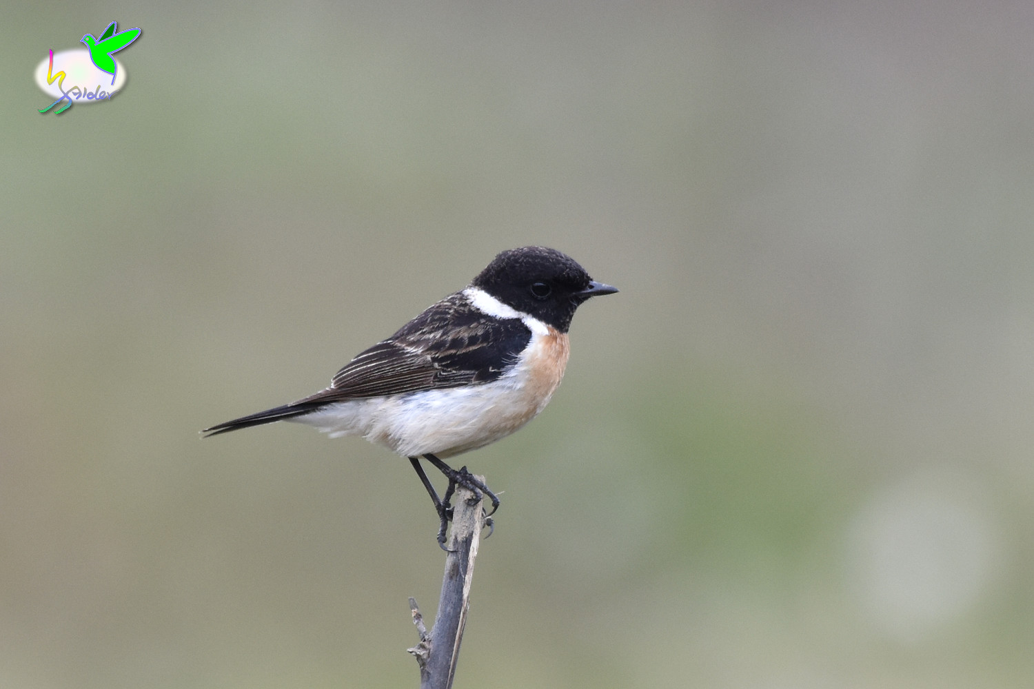 Common_Stonechat_9427