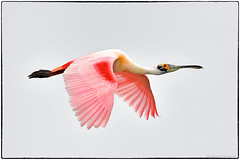 Roseate Spoonbill (view large)