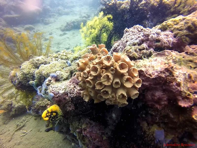 Cup corals