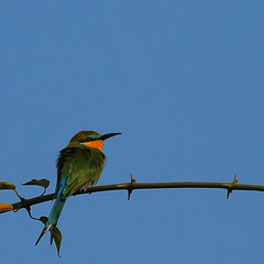 11_08-55-34 70Draw-0216af1 Swallow-tailed Bee-eater