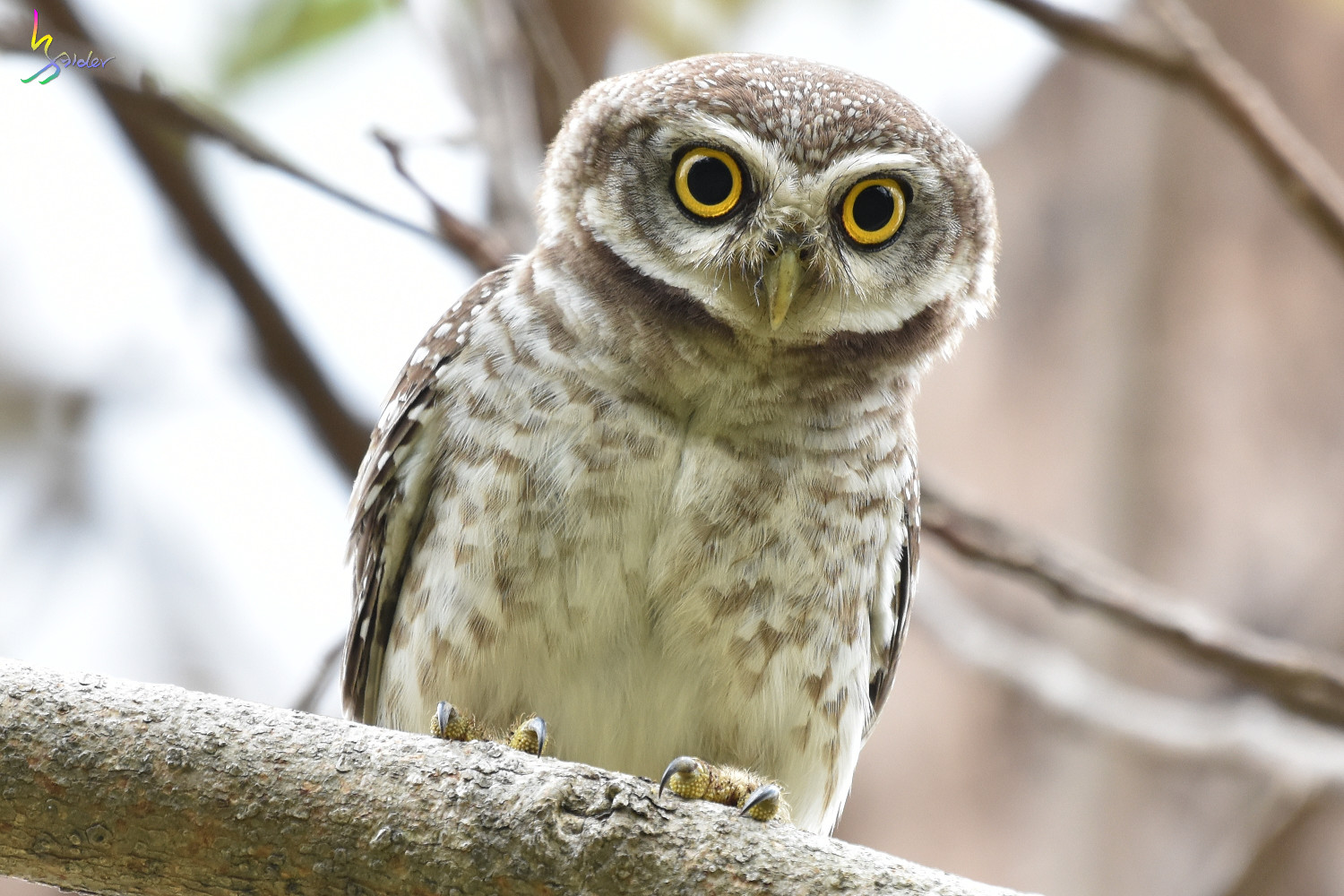 Spotted_Owlet_3742