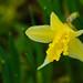 First daffodil, Compton