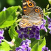 Meadow Argus Butterfly 004