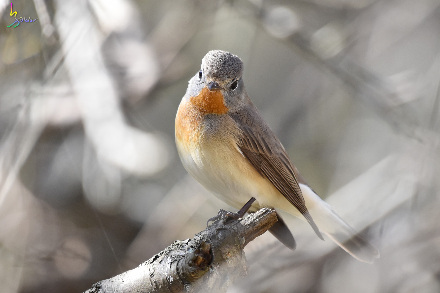 Red-breasted_Flycatcher_6620