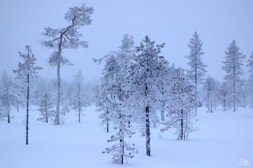 Snow landscape of Lapland, Finland / Paysage enneigé de Laponie, Finlande