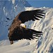 Small photo of Alaskan dream eagle